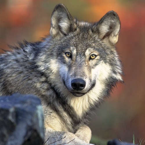Audiokniha Wolfi - Vladimír Zajíc - Jitka Sedláčková