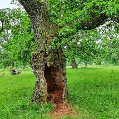 Navštívili sme Gavurky, stredoveký pasienok s majestátnymi dubmi